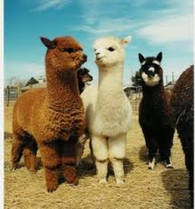 Alpacas for sale Breedersales | Horses, Cattle, Sheep & Alpacas for Sale! | Buy & Sell Livestock Australia